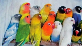 LOVEBIRDS DETAIL INFORMATION (URDU/HINDI)