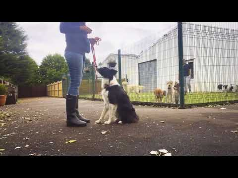 Dog Training a Reactive Border Collie