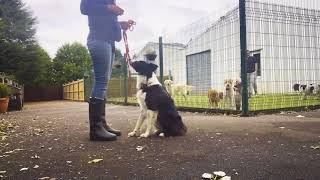 Dog Training a Reactive Border Collie