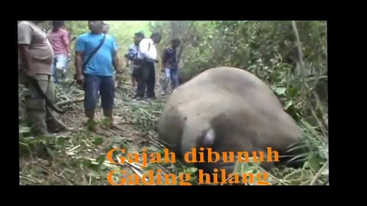 Gajah Mati Gading Hilang Youtube