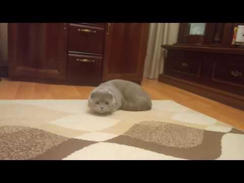 Lazy hunter scottish fold cat