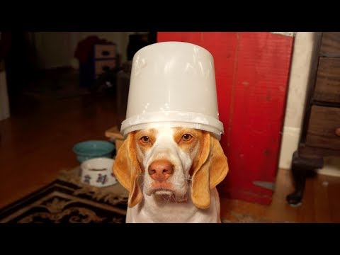 Dog Can't Find Biscuit in Bucket: Cute Dog Maymo