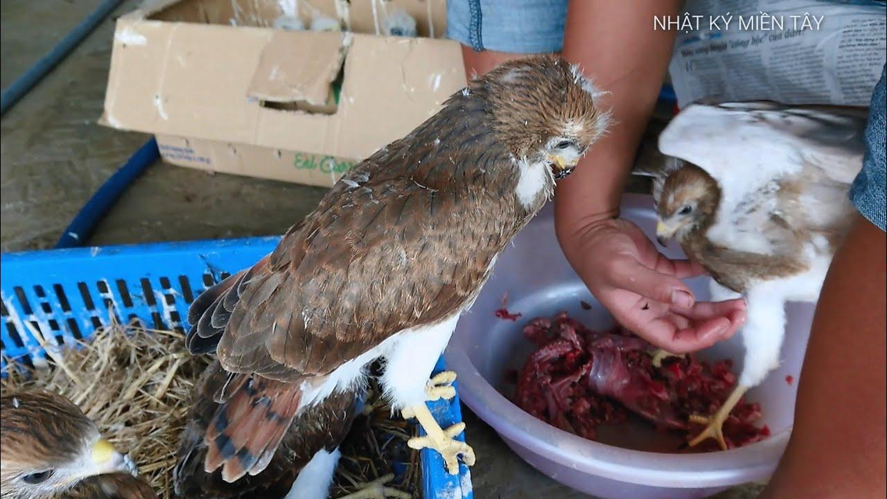 Cận cảnh cách cho chim đại bàng ăn | giá chim săng mồi ở chợ chim Thạnh hóa