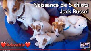 Mise bas de 6 chiots Jack Russel - Par Georges Cateland photographe à Pauillac Médoc