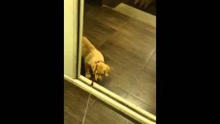 видео Как научить щенка не бояться улицы