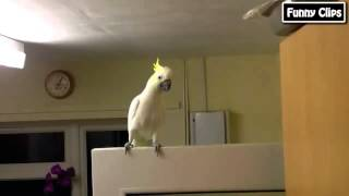 what is love parrot dance