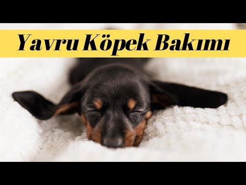 Annesiz Yavru Köpeklere Ne Kadar Süt Verilmelidir?