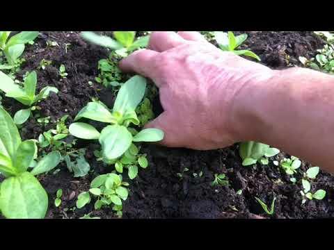 Rensa ogräs och gör till Supernäring ! Fröogräs och Ogräs från frö