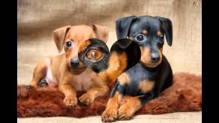 Миниатюрный   Пинчер/Miniature Pinscher (порода собак HD slide show)!