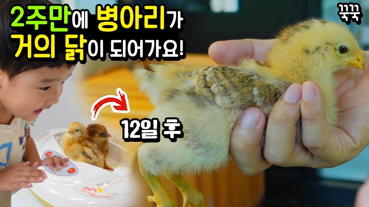 2주만에 병아리가 거의 닭이 되어가요! 날아서 도망 갈려고 하는 꾹꾹 끼끼 집 만들기 ㅋㅋㅋ 흔한 가족 일상 아이랑 병아리 닭 키우기 | 말이야와친구들