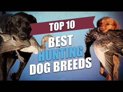 Top 10 Best Hunting Dogs Today (for All Types of Game)