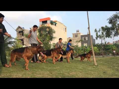 1 góc của Trại chó Trần Gia - 1 vài chú chó bec gie đực giống 0904160476