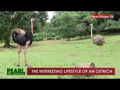 Pearl of Africa: The interesting lifestyle of an ostrich