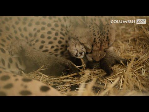 History Making Cheetah Cubs Born Through IVF