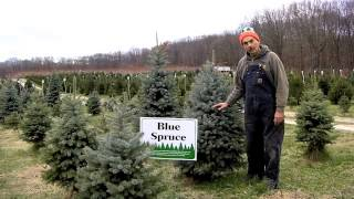 Christmas Trees at Giamarese Farm