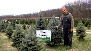 Christmas Trees at Giamarese Farm