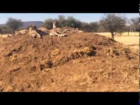 Cheetah Conservation Fund Internship