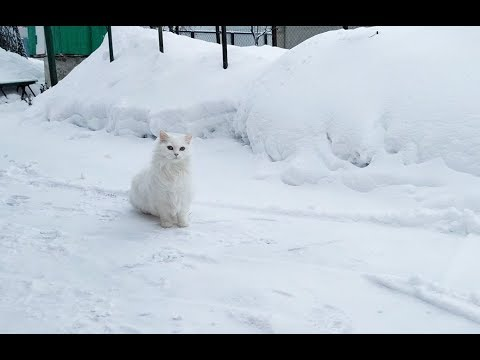 Turkish angora - beautiful white cat in winter