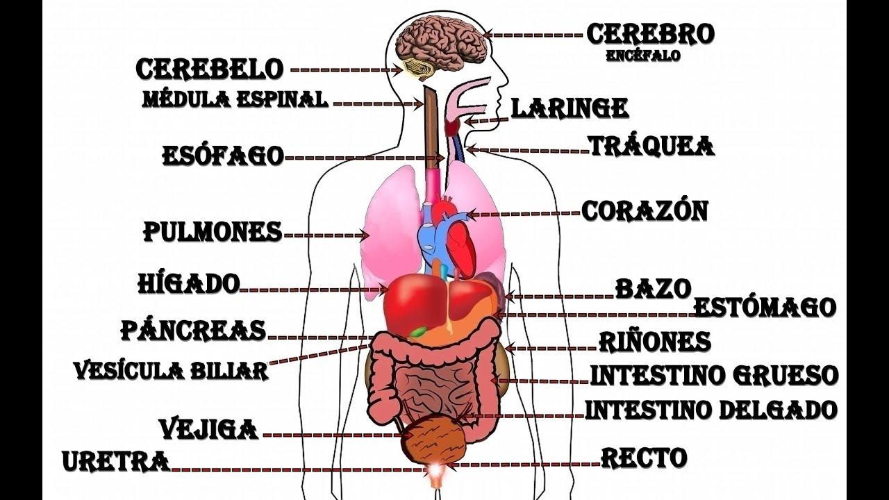 órganos Del Cuerpo Humano Youtube