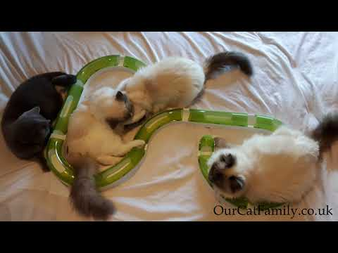 British Shorthairs and American Ragdoll kittens playing with Catit Senses 2.0 Super Circuit