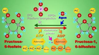 Metabolismo de la glucosa - video animado