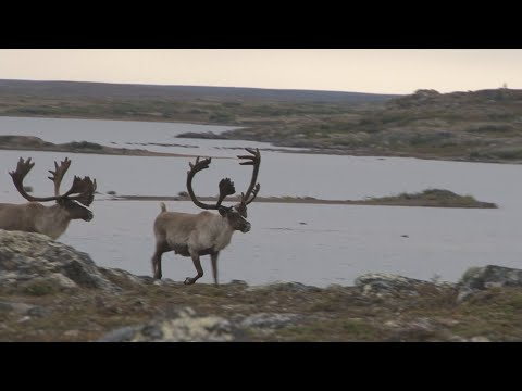Hunting Caribou On The Tundra In Quebec