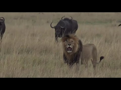 Part 1  Safari Live with James Hendry in the Mara Triangle on Sept 22, 2016
