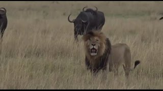Part 1  Safari Live with James Hendry in the Mara Triangle on Sept 22, 2016 thumbnail