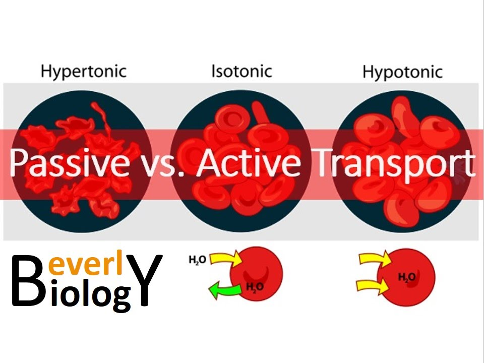 Passive vs Active transport - YouTube