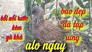 Chim cu gáy bổi nổi đã đi tập rừng 7 8 lần hầu như đều gáy rất tốt
