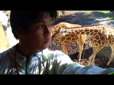 African Giraffes Feeding At Jacksonville Zoo!