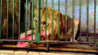 الأسد يأكل في حديقة الحيوان بالجيزة