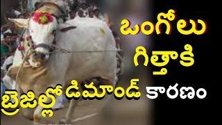 ఒంగోలు గిత్తాకి ఎందుకంత క్రేజ్ డిమాండ్  విదేశాల్లో |Unknown Facts Telugu About Olgole Bull|shocking