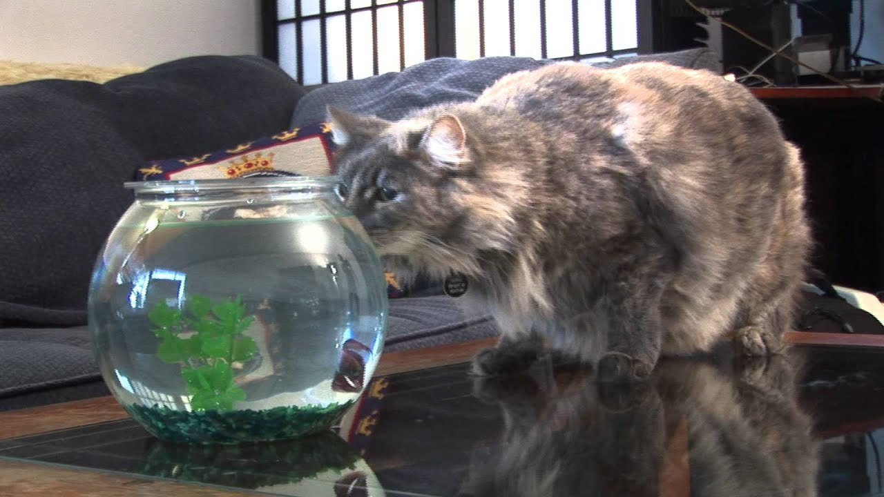 Flying fish attacks cat youtube for Fish videos for cats