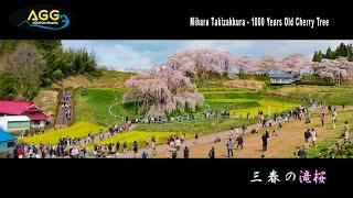 [ 4K Ultra HD ]三春の滝桜 Miharu Takizakura - 1000 Years old cherry tree in FUKUSHIMA (Shot on GH5)