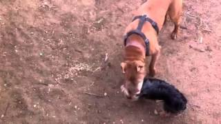 Pitbull And Yorkie And Beagle Mix Play