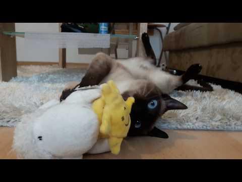 Amazing  Thai cat 😻