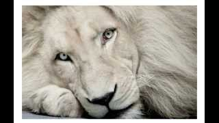 Beatuty ful White lion pictures