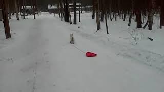 ездовая собака вестхайленд-уайт терьер