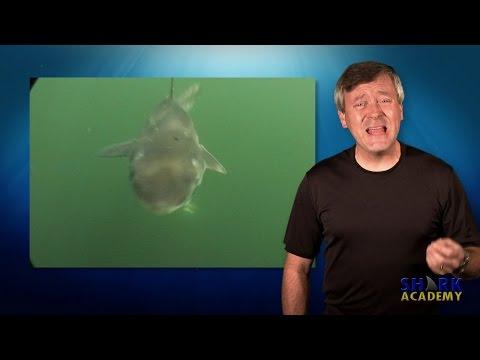 Spiny Dogfish Shark | SHARK ACADEMY