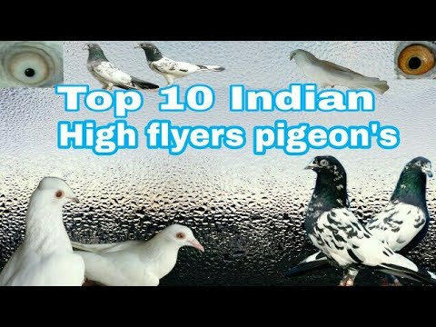 Top 10 Indian High Falyrs Pigeon's || Indian 10 Most Famous Breeds