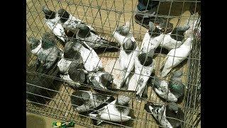 হাটে কিছু z স্প্রিং এবং  ফুল স্প্রিং  কবুতর।by rahman pigeons loft .