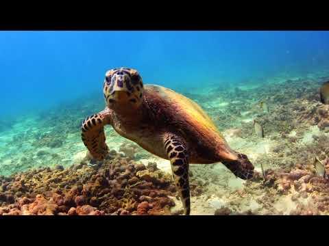 鴿子島-玳瑁  Pigeon Island-Hawksbill sea turtle