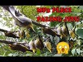 Masteran Pikat Burung Pleci Dapat Banyak Hanya Format Mp3