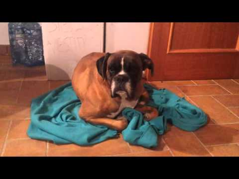 Boxer cane offeso