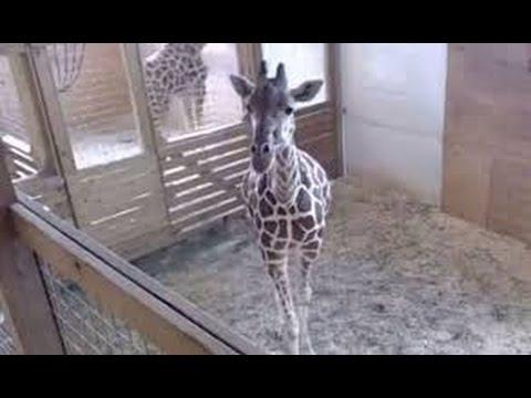 Animal Adventure Park Cam - April The Giraffe Giving Birth [Live Tream 24/7]
