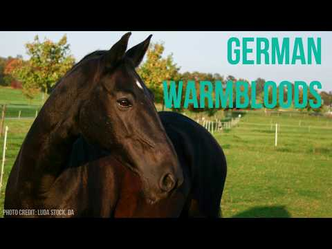 German Warmbloods