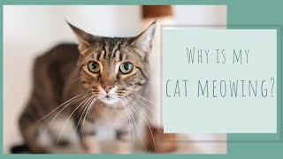 Why is my Cat Meowing?
