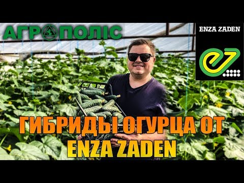 Супер ранние гибриды огурца - Severin F1 Bjorn F1 | путешествие | агроновости | агрополис | гибриды | семена | огурцы | гибрид | cucumbers | agropolis | cucumber