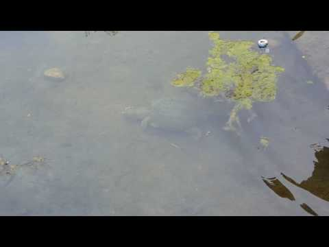Catching a LOGGERHEAD Turtle BAREFOOT!